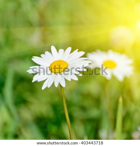 Floral nature daisy abstract background in green and yellow - stock photo