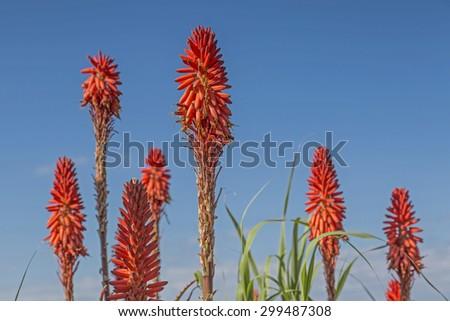 Floral splendor in Bordighera on the Riviera dei Fiori - stock photo