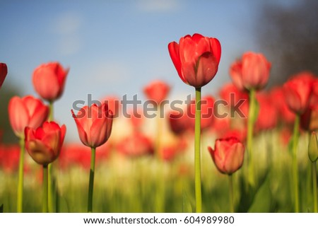 Floral  spring background. Beautiful red tulips under sunlight in the garden. Selective focus