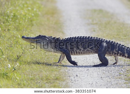 Florida Alligator Crossing the Road - stock photo