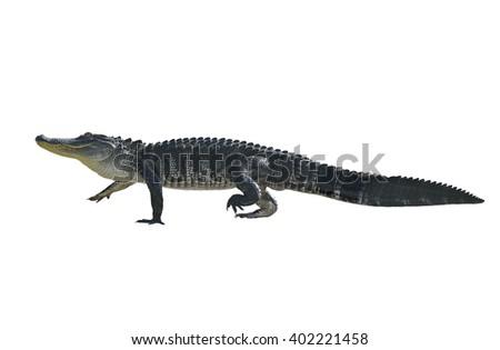 Florida Alligator Isolated on White Background - stock photo