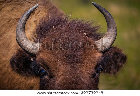 Florida Bison or Buffalo close up of horns - stock photo