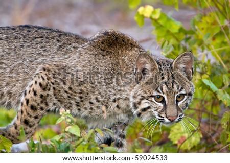 Florida Bobcat - stock photo