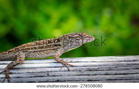 Florida Lizard - stock photo