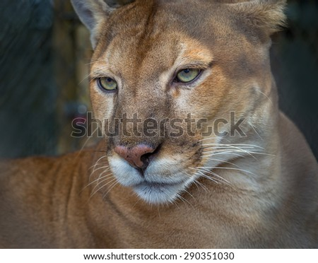 Florida panther profile - stock photo