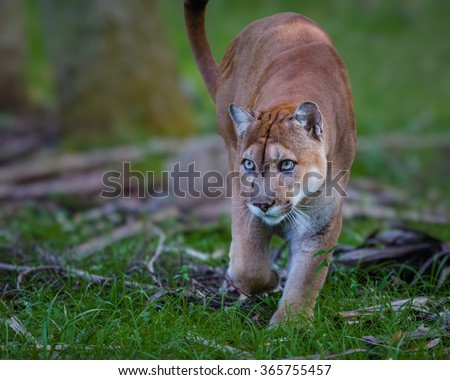 Florida Panther, puma, or cougar, walks through the brush as it stalks its prey-Edit
