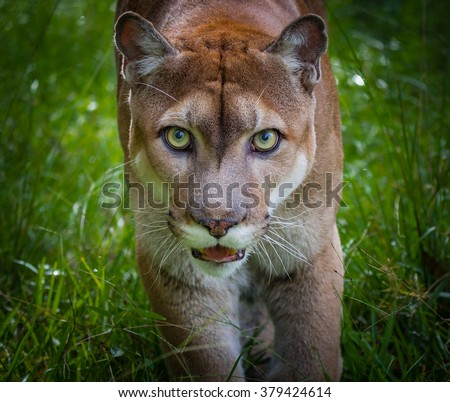Florida panther stares at camera - stock photo