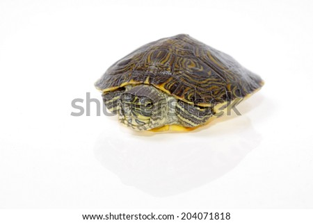 florida turtle isolated on white background young