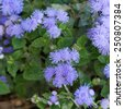 Floss flower Awesome leilani blue or ageratum blue bouque in green background, Alchemilla epipsila - stock photo