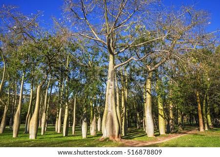 Floss silk trees ceiba speciosa autumn stock photo for Jardines del real valencia