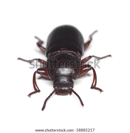 Flour beetle, Tenebrionidae isolated on white background. Macro photo. - stock photo