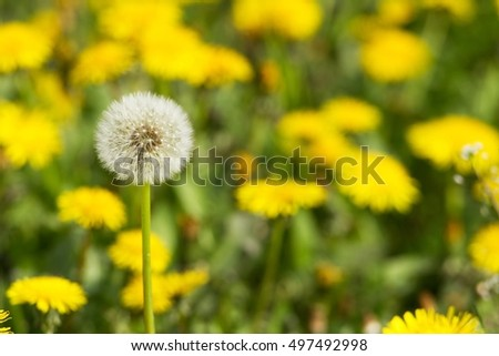 flourishing intensely yellow dandelions Sonchus slightly soppy spring green meadow