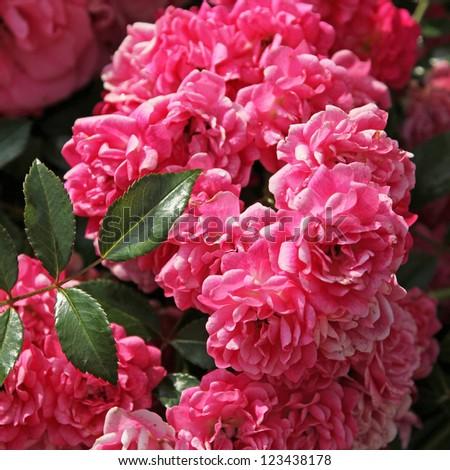 flourishing pink rose bush, full bloom - stock photo