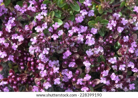 Flourishing thyme herb with pink flowers as a background - stock photo