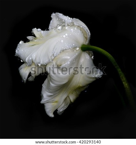 Flower a white tulip in rain drops on a black background
