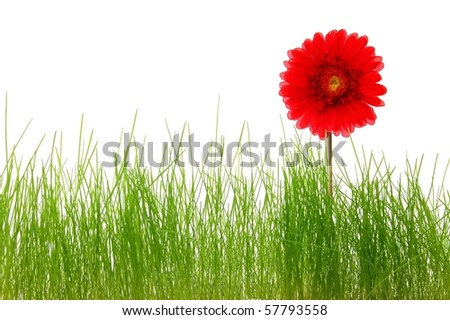 flower and grass isolated on white background showing summer concept with copyspace - stock photo