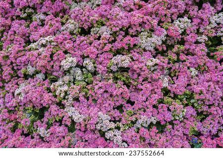 Flower background (Kalanchoe flower) - stock photo