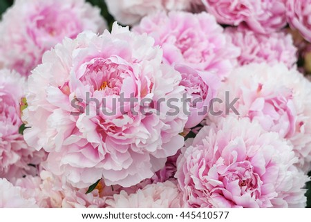 pink and yellow peonies stock images, royalty-free images