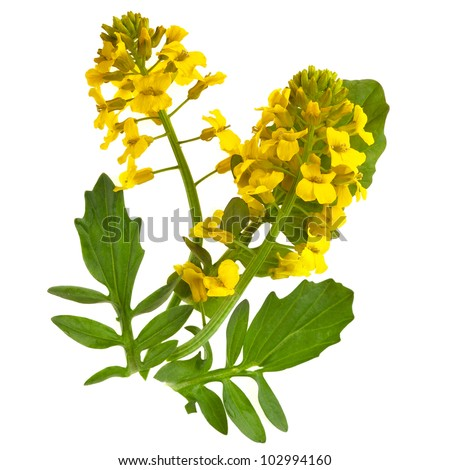 Flower Barbarea vulgaris, Bitter Yellow Rocket  plant  (Cruciferae , Brassicaceae ) , close up  isolated on white