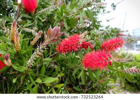 Red Bottlebrush Bush Callistemon Stock Photo 3917845