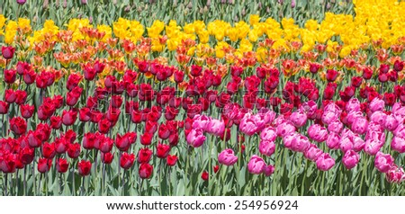 Flower bed of multicolor tulips at spring - stock photo