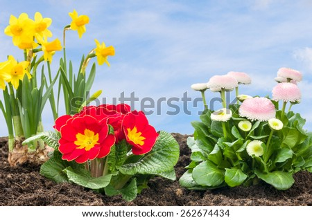 Flower Bed with daffodils, primroses and daisies - stock photo