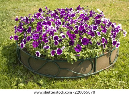 Flower bed with many flowers petunia of violet colour with white lines. - stock photo