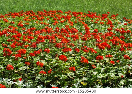 Flower bed with red florets on a green grass