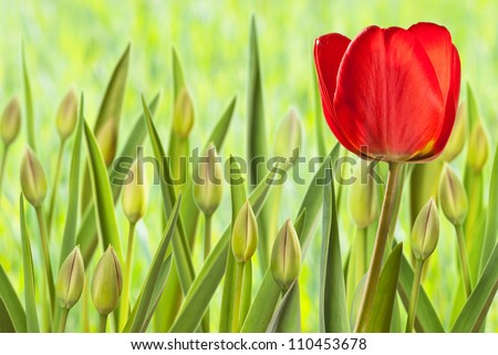 flower bed with tulips - stock photo