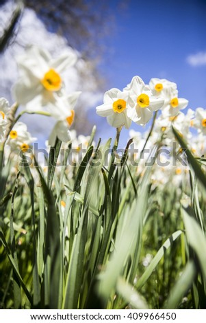 Flower bed with yellow daffodil flowers blooming - stock photo