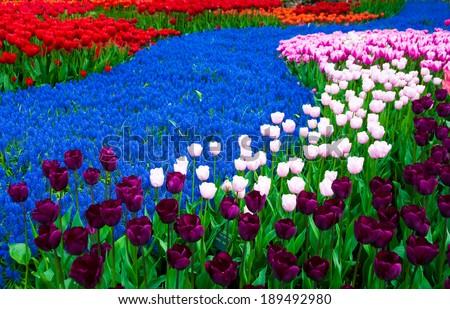 Flower beds in Keukenhof park, Holland - stock photo