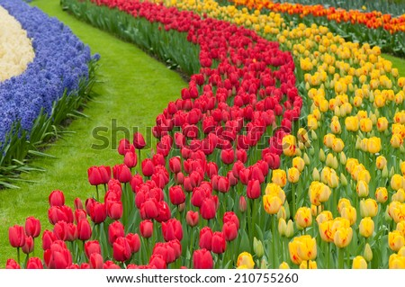 Flower beds of multicolored tulips - stock photo