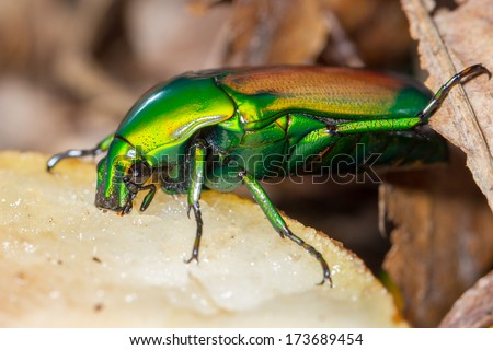Flower beetle eating fruit close-up (smaragdesthes africana) - stock photo