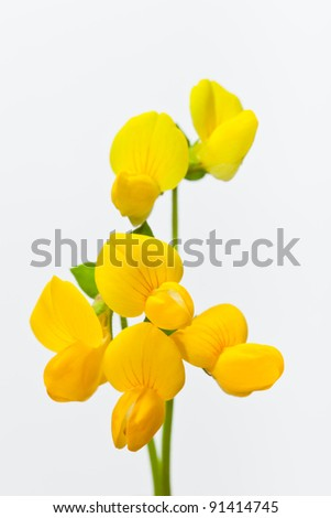 flower[birdsfoot_trefoil]_18