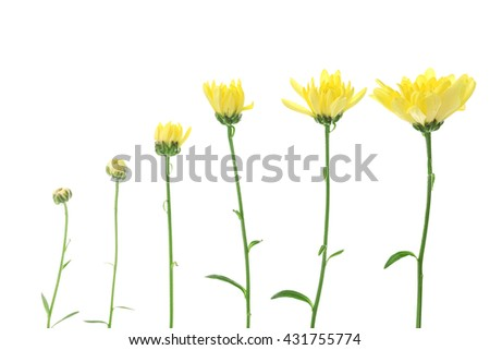 Flower bloom stages, isolated on white - stock photo