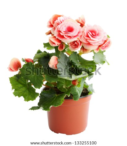 Flower blooming in a pot, pink begonia - stock photo