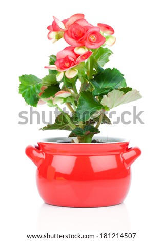 Flower blooming in a pot, red begonia. perennial flowering plants