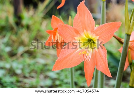 flower blooming in the garden.Orange flowers Hippeastrum or Amaryllis in nature garden background, Amaryllidaceae, blossom flowers Amaryllis or Hippeastrum with fresh mood - stock photo
