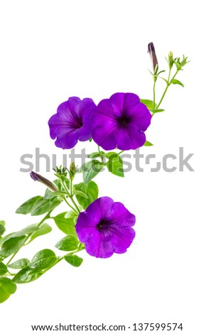 Flower blooming petunia isolated on white background - stock photo