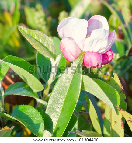 flower blossom in spring time - stock photo