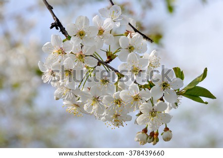 flower, blossom, spring, tree, macro, leaf, life, white, blue,  day, pink, background, branch, green, new, sky, soft, yellow, blooming, bloom, bud, outdoor, japan, petal, fresh, freshness - stock photo
