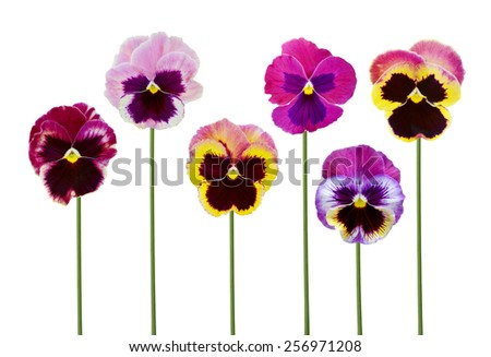 flower branch: pansies flowers it is isolated on a white background - stock photo