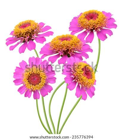 flower branch: pink zinnia daisy flowers on white  - stock photo