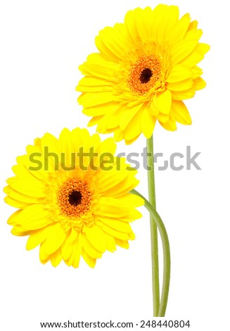 flower branch: Two beautiful gerber flowers isolated on white background - stock photo