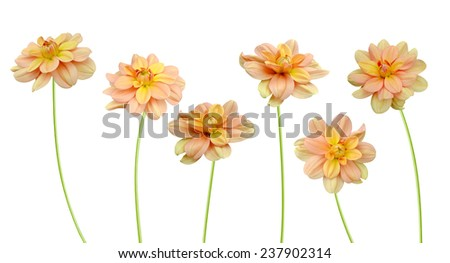 flower branch: yellow dahlia flowers isolated on white  - stock photo