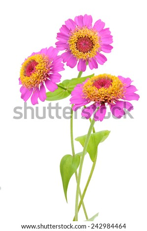 Flower branches: beautiful pink zinnias, isolated on white - stock photo