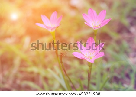 flower bud of pink rain lily (Zephyranthes candida)