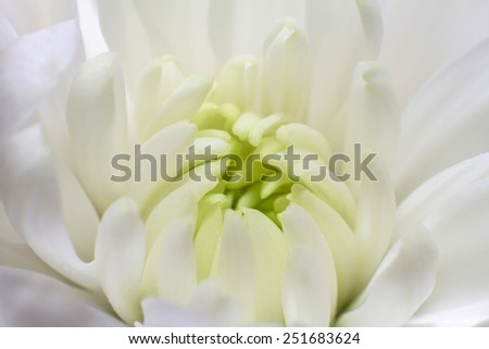 flower bud with petals close up. Flower bud close up with petals. Macro flower - stock photo