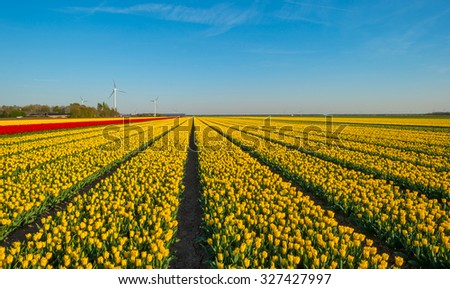 Flower bulb cultivation of tulips in spring