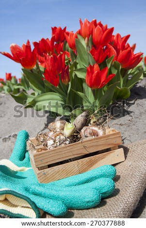 Flower bulbs in crate with red tulips  - stock photo